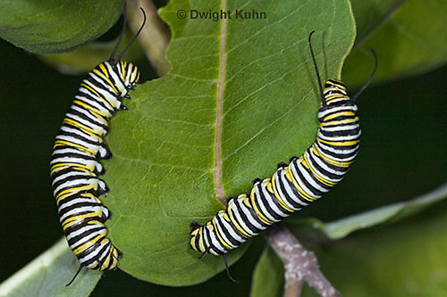 MO02-500z  Monarch caterpillar - Danaus plexipuss