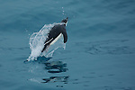 Chinstrap Penguin (Pygoscelis antarctica) porpoising..Elephant Island, Antarctica.