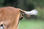 Redbilled oxpecker, Buphagus erythrorhynchus, on impala, Kruger National Park, South Africa