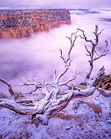 Juniper & Fog, Yaki Point, South Rim, Grand Canyon National Park, Arizona