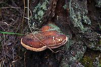 Shelf mushroom, a fungal growth, on a tree near Red River, New Mexico.