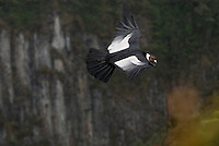 Male Andean Condor flying (Vultur gryphus), Puracé National Park, Department Cauca, Colombia