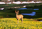 Mule deer, Glacier National Park, Montana