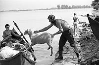 """ROMANIA, 08.1975, delta of Danube, Gorgova..""""Sheep download"""" to a boat to cross the Danube in Gorgova. Nearly 30.000 people live in the Danube delta fisheries and agriculture..ROUMANIE, 08.1975, delta du Danube, Gorgova..""""Sheep download"""" dans la barque à Gorgova, pour traverser le Danube..Près de 30000 personnes vivent dans le delta du Danube de la pêche et de l'agriculture..© Andrei Pandele / Est&Ost Photography."""