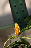 Tropical Rainforest Glasshouse (formerly Le Jardin d'Hiver or Winter Gardens), 1936, René Berger, Jardin des Plantes, Museum National d'Histoire Naturelle, Paris, France. Detail of Pachystachys lutea flower and foliage with a metal girder in the background.
