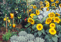 Sunflowers, dwarf types in vegetable garden with gold sweet peppers, staked tomato plants, herbs, santolina, Artemisia Dusty miller intermixed