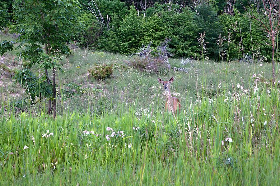 A deer peeks out of tall grasses in summer, Sleeping Bear Dunes National Lakeshore, northwestern Michigan, MI, USA