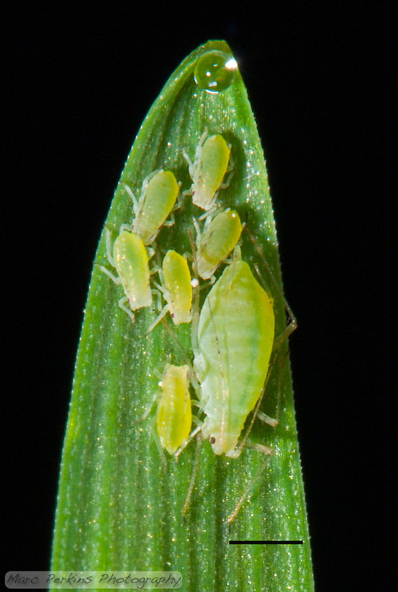 """This is a severe crop of my original """"Home on the Range"""" image, highlighting the detail visible on the aphids.  A small family of green aphids stands on the end of a stalk of tack oat grass, {Avena sativa}, that has a tiny drop of clear water at the tip (because it is guttating due to high-humidity).  There is one larger aphid (most likely a wingless parthenogenetically reproducing female, possibly a fundatrix) and six smaller aphids (probably her offspring / babies).  I'm not certain what species of aphid these are, but they may be {Diuraphis noxia}, the Russian Wheat Aphid.  The scale bar (lower-right) is 1mm long; a version of this image without the scale bar is available upon request."""
