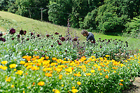 Dan Hoeing with Calendula and Papaver somniferum (Opium Poppies)