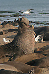 northern elephant seal bull trumpets