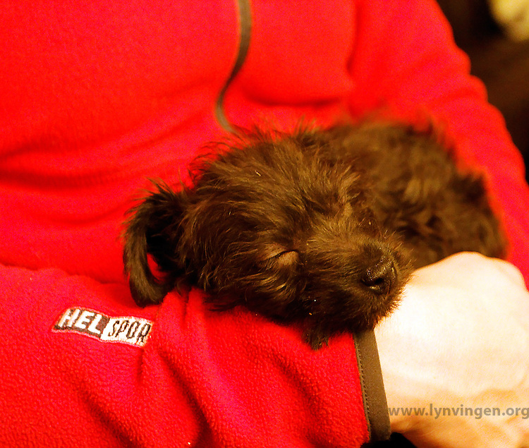 miniature pinscher - miniature poodle mix puppy | Lynvingen Photo ...
