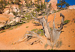 Bristlecone Pine, Fairyland Trail, Bryce Canyon National Park, Utah