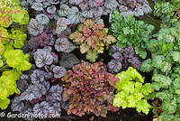 Heuchera 'French Quarter' (seedlings of) showing great variety mixture when grown from seed, not true to form
