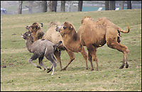BNPS.co.uk (01202 558833).Pic: IanTurner/BNPS..Fearsome Rhino turns Runofferous as protective Camel dad gets the hump...Mum and baby take fright.....A three ton Rhino throwing its weight around at the Longleat Safari park in Wiltshire was sent packing by a feisty Bactrian camel looking after its newly born daughter. The notoriously bad tempered Rhino even suffered the indignity of a bite on its retreating rump as the fearless dromedary chased it round the park...Proud father Dougie was looking after his newly born daughter Nikki when the short sighted White Rhino strolled to close to them, As the calf took flight the protective father leapt into action and a high speed chase ensued leaving Marashi the White Rhino red faced...Fortunately with both species being endangered in the wild it was only the Rhino's pride that was damaged.
