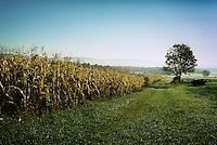 Autumn corn ready for harvest.