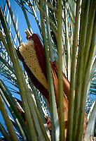 TREES - PLANTS<br /> Date Palm Ovulate Structure<br /> Southern CA