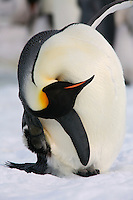 Emperor Penguin scratching head, preening. Snow Hill Island Colony, Antarctica.