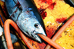 Tuna fisherman Kanji Nishi cleans a freshly caught 15-kg tuna on the deck of his boat in the waters off Iki Island, Nagasaki Prefecture, Japan