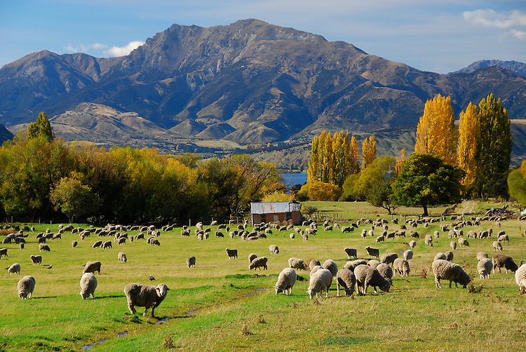 Sheep grazing near Lake Wanaka in Autumn, South Island, New Zealand