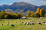 New Zealand photos | Sheep grazing, Lake Wanaka