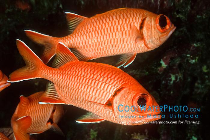 Bigscale soldierfish or blotcheye soldierfish masa for Big eye squirrel fish