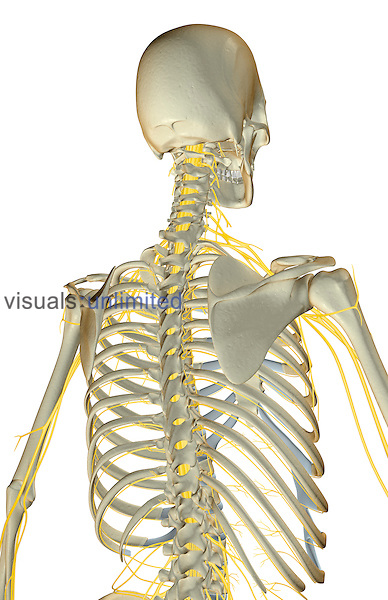 A posterolateral view (right side) of the nerve supply of the upper body.   Royalty Free
