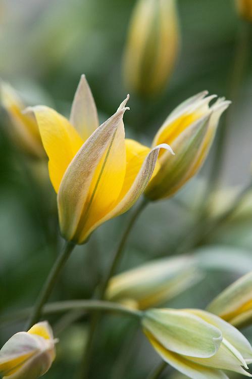Tulipa sp. aff. bifloriformis, glasshouse, early March.