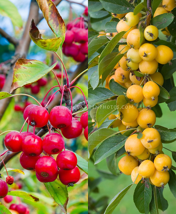 Malus Sugar Tyme and M x zumi  'Golden Hornet' crabapples, different cultivars kinds, red fruits and orange fruits in autumn, composite picture