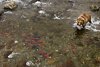 Brown bear fishes for salmon in the Brooks river, Katmai National Park, Alaska.