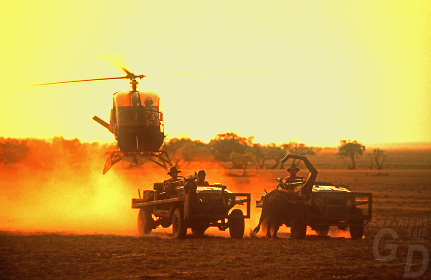Buffalo muster with Helicopter and jeeps in the Top End of Australia, Northern Territory