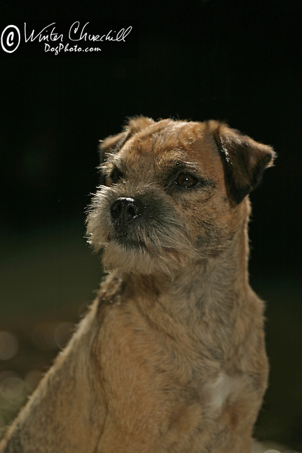 Border Terrier<br />