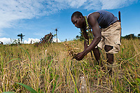 Planting Promise workers harvesting rice, Newton, Freetown, Sierra Leone. Planting Promise is an organization dedicated to the development of education in Sierra Leone. Its aim is to bring opportunities to initiate self-run, self-supporting projects that offer real solutions to the difficulties facing the world's poorest country. They believe real and lasting development comes from below, from local projects that address specific needs, rather than large international models. To this end, they currently run five projects that aim to bring wealth into the country through business. The profits from these businesses are then used to support free education for children and adults...Through the combination of business with social progress, the charity hopes that they are providing real, lasting and profound changes for the better, by promoting sustainable and beneficial industry in the country, and putting it to the service to the needs of the people. As well as providing the income to fund the school, the farms will also be an example of successful commercial enterprise to teach the children in the school the viability of profit-making schemes that go beyond subsistence models, the only things the children of these desperately poor areas are accustomed to. By learning particular details of the challenges that they will face, the children will emerge from this school equipped to contribute in a real way to their society.