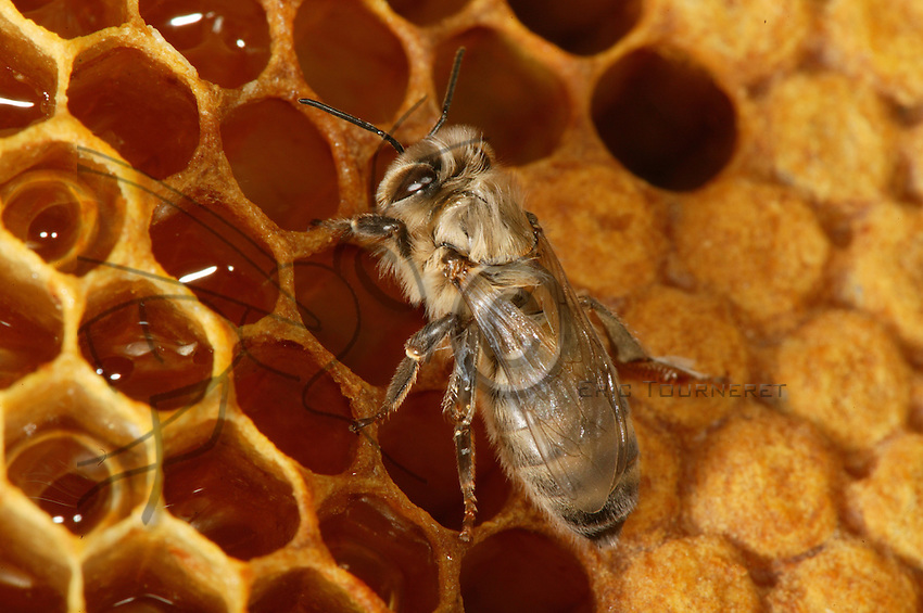 Just after birth, a young bee, not yet fully pigmented, approaches the honey reserves for its first meal. Its principal food will still be pollen.