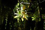 Leaves in the sunlight, Parque nacional de Garajonay forests, La Gomera, Canary Islands,Spain
