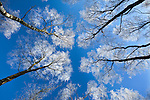 Low view of tall trees under blue sky in winter