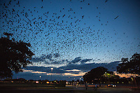 Purple Martins Swallow Bird Austin Texas Highland Mall Roost & Flight - Stock Photo Image Gallery