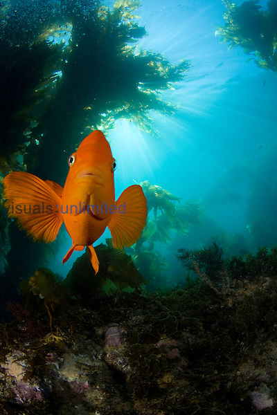 The Garibaldi (Hypsypops rubicundus) is the State Fish of California, USA. This individual is in a forest of Giant Kelp (Macrocystis pyrifera) off Catalina Island, California, USA.
