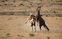 Wild horses suddenly rear up and kick as they spar in a field outside of Dayton Nevada in the Iron Mountain Ranch estates are being built.  Roads in the neighborhood are Apache Road, Cherokee Road, Wild Horse Run, Pinto Road etc..The suburbs of Reno are spreading into what was once the range for wild horses.
