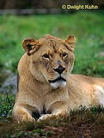 MA39-016z  African Lion - Panthera leo