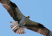 Osprey (Pandion haliaetus) with fish prey in its talons.