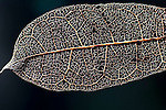 Leaf Skeleton, soft tissues devoured by caterpillars showing veins of leaf, Masoala National Park, Madagascar, largest of the island's protected areas, UNESCO World Heritage Site, Masoala peninsula is exceptionally diverse due to its huge size, and variety of habitats
