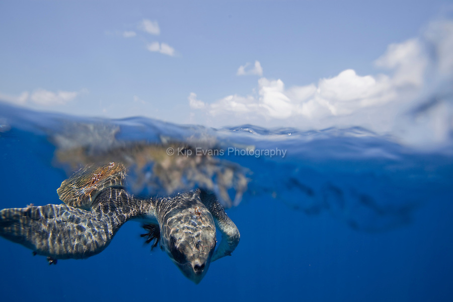 A split-water view of a rare Ridley Sea Turtle at the Cocos Island off the coast of Costa Rica.