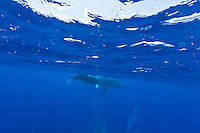 Underwater view of mother and baby whale swimming off the coast of Maui.
