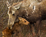 A moose calf only several days old appears to receive some loving reassurance from his mother in Grand Teton National Park, June 2, 2011.  Photo by Gus Curtis