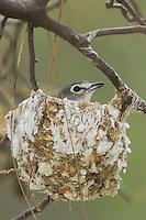 Plumbeous Vireo, Vireo plumbeus, adult on nest, Madera Canyon, Arizona, USA