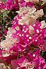 pink and white Bougainvillea blossoms<br /> <br /> flores de Bougainvillea rosas y blancos <br /> <br /> rosa und wei&szlig;e Bougainvillea-Bl&uuml;ten<br /> <br /> 3008 x 2000 px