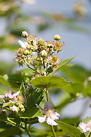 Blackberry flowers and immature fruit.