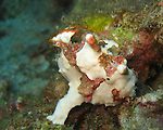 Kenting, Taiwan -- A warty frogfish (Anrennarius maculata) clumpsily makes its way over coral rubble.<br />