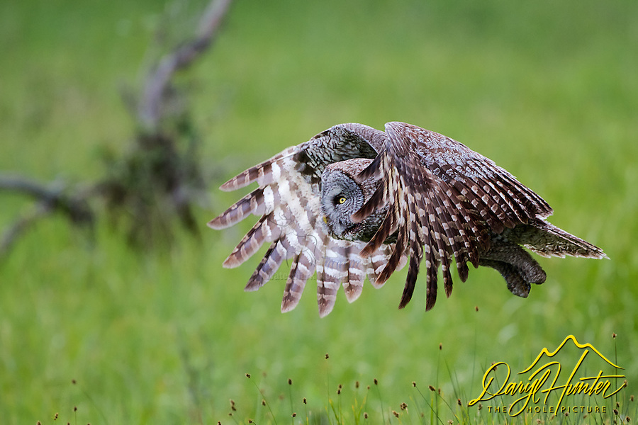 Flying great grey owl, Grand Teton National Park