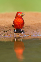 580980033 a wild male summer tanager piranga rubra perches on a small limb at laguna seca ranch in the rio grande valley of south texas